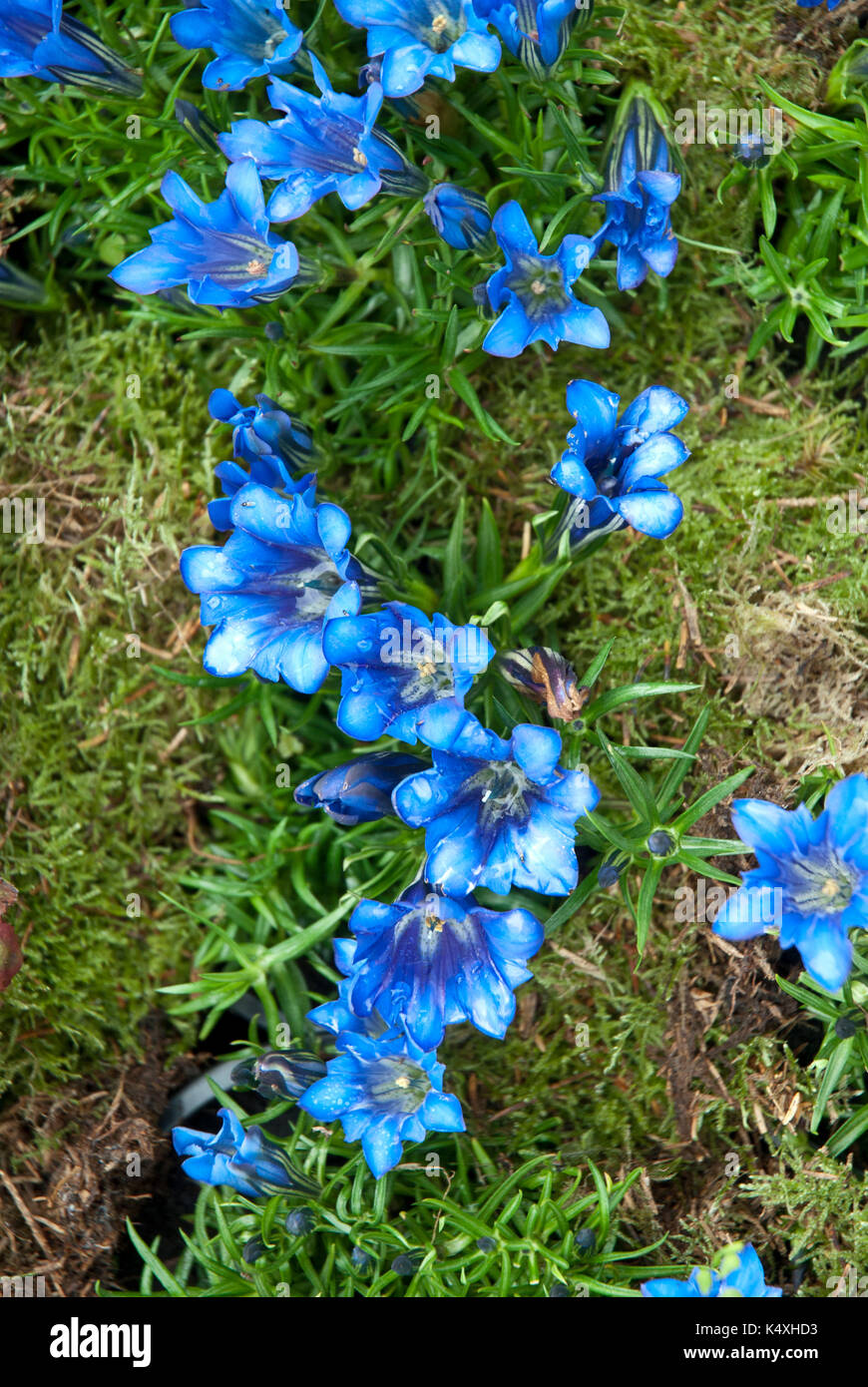 Bright blue gentian violets growing in mossy garden, gentian acaulis (gentiana,gentianeae,gentianinae) - Stock Image
