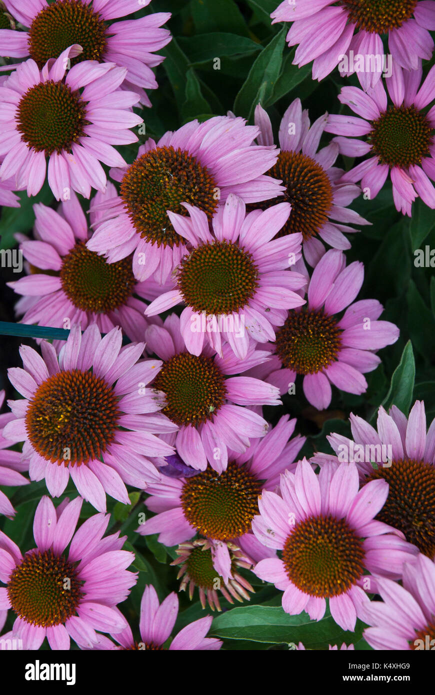 swathe of purple echinacea, cone flower, asteraceae, herbaceous, heliantheae flowering in summer and autumn - Stock Image
