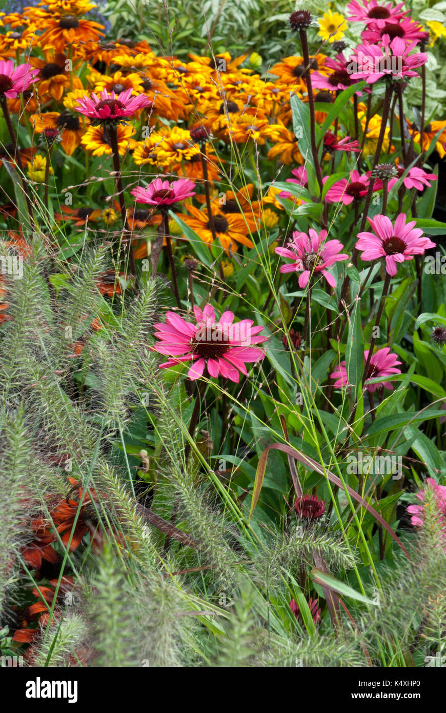 Mixed herbaceous border with echinacea, cone flower, (asteraceae, herbaceous, herbaceous), various colours. - Stock Image
