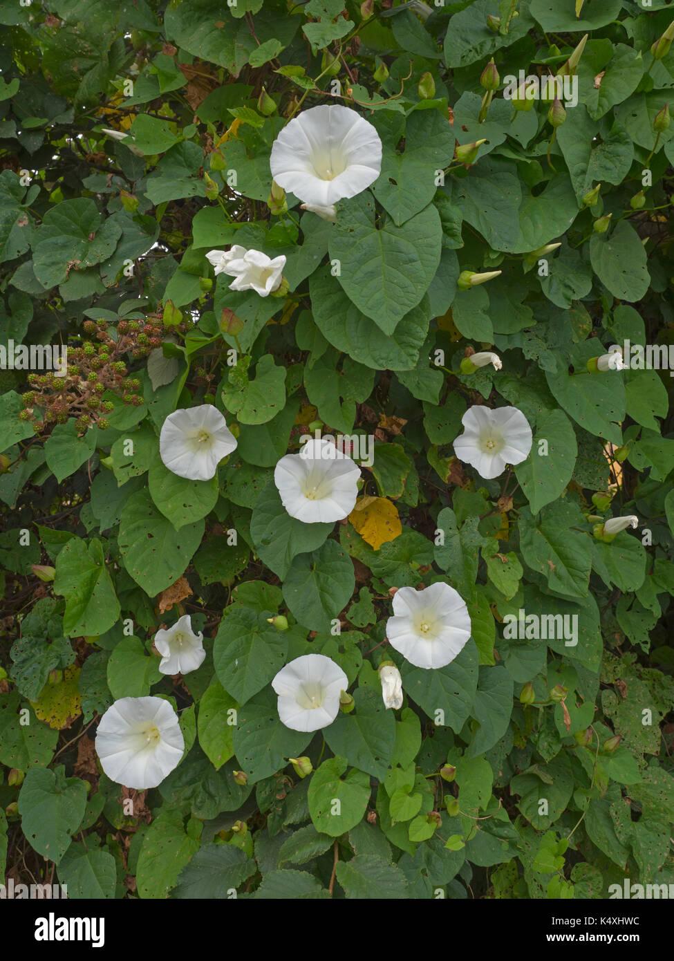 Bindweed,Hedge Bindweed, or Bellbind Calystegia sepium in tangled hedgerow Norfolk - Stock Image