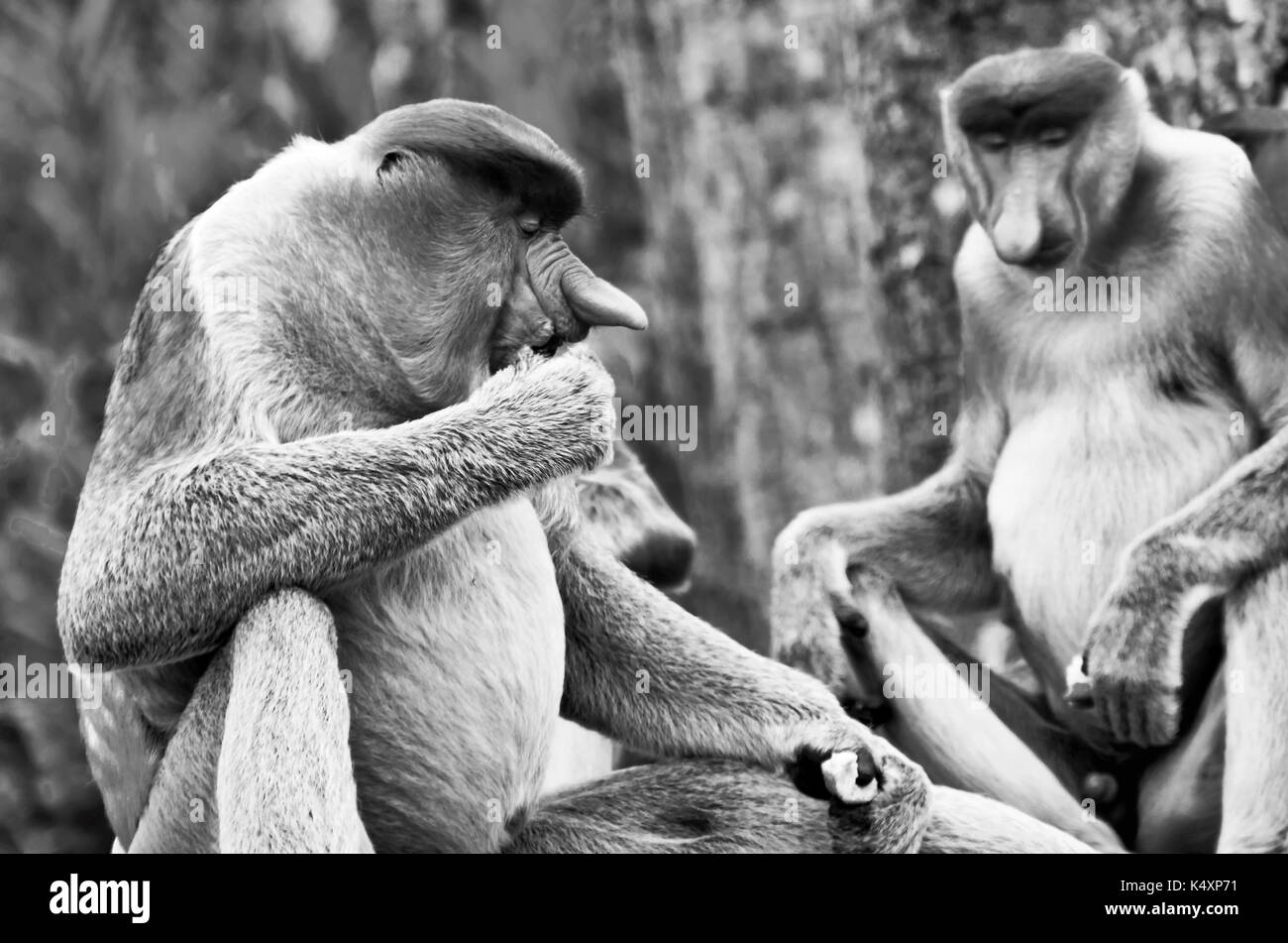 Nosed monkeys in the jungles of Borneo (Kalimantan) - Stock Image
