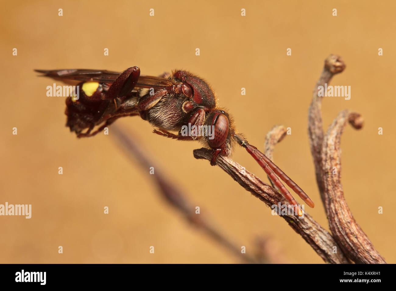 Nomada Bee, Nomadini - Stock Image