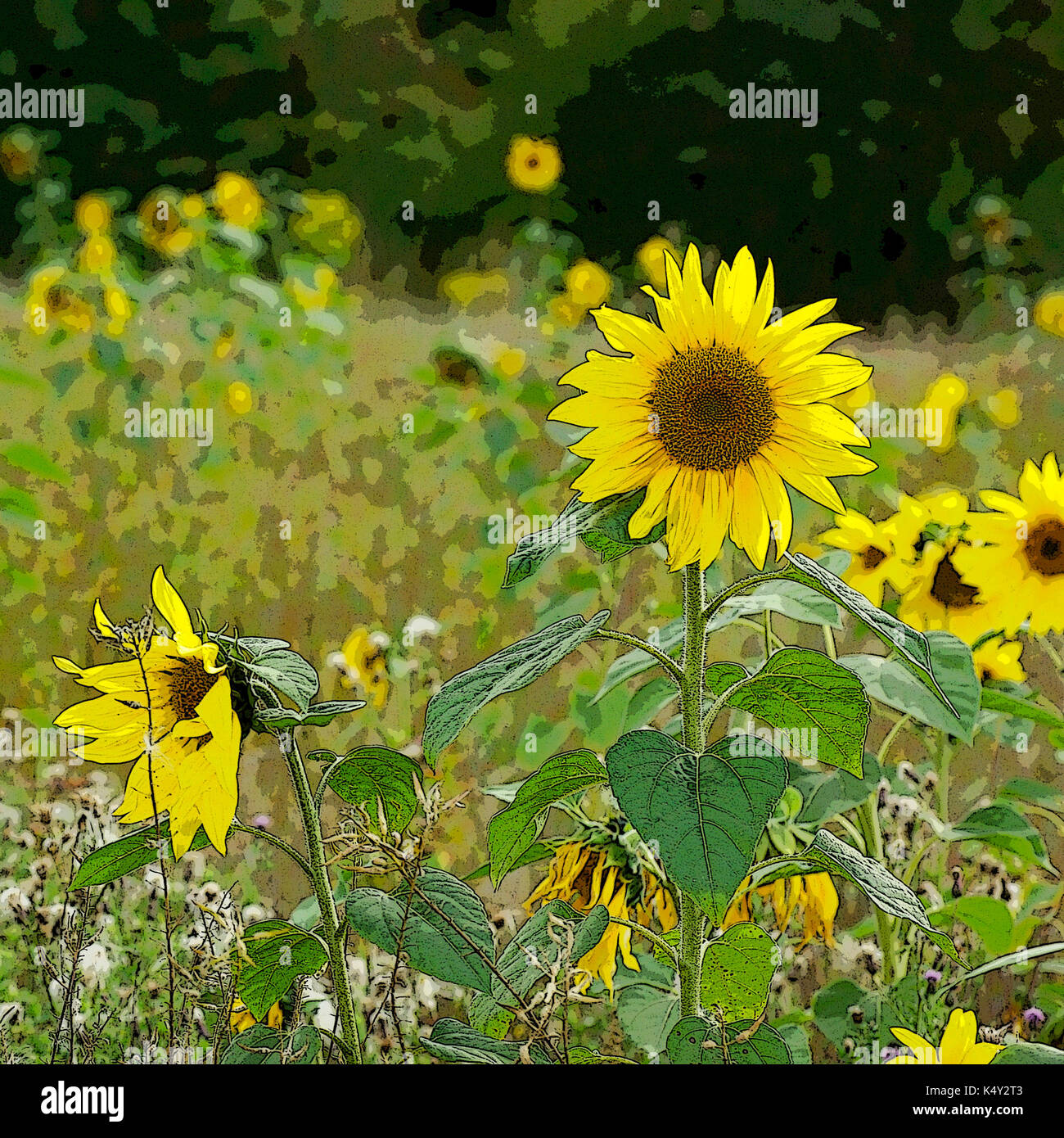 Sunflowers growing on set-aside land; with Photoshop poster edges effect. - Stock Image