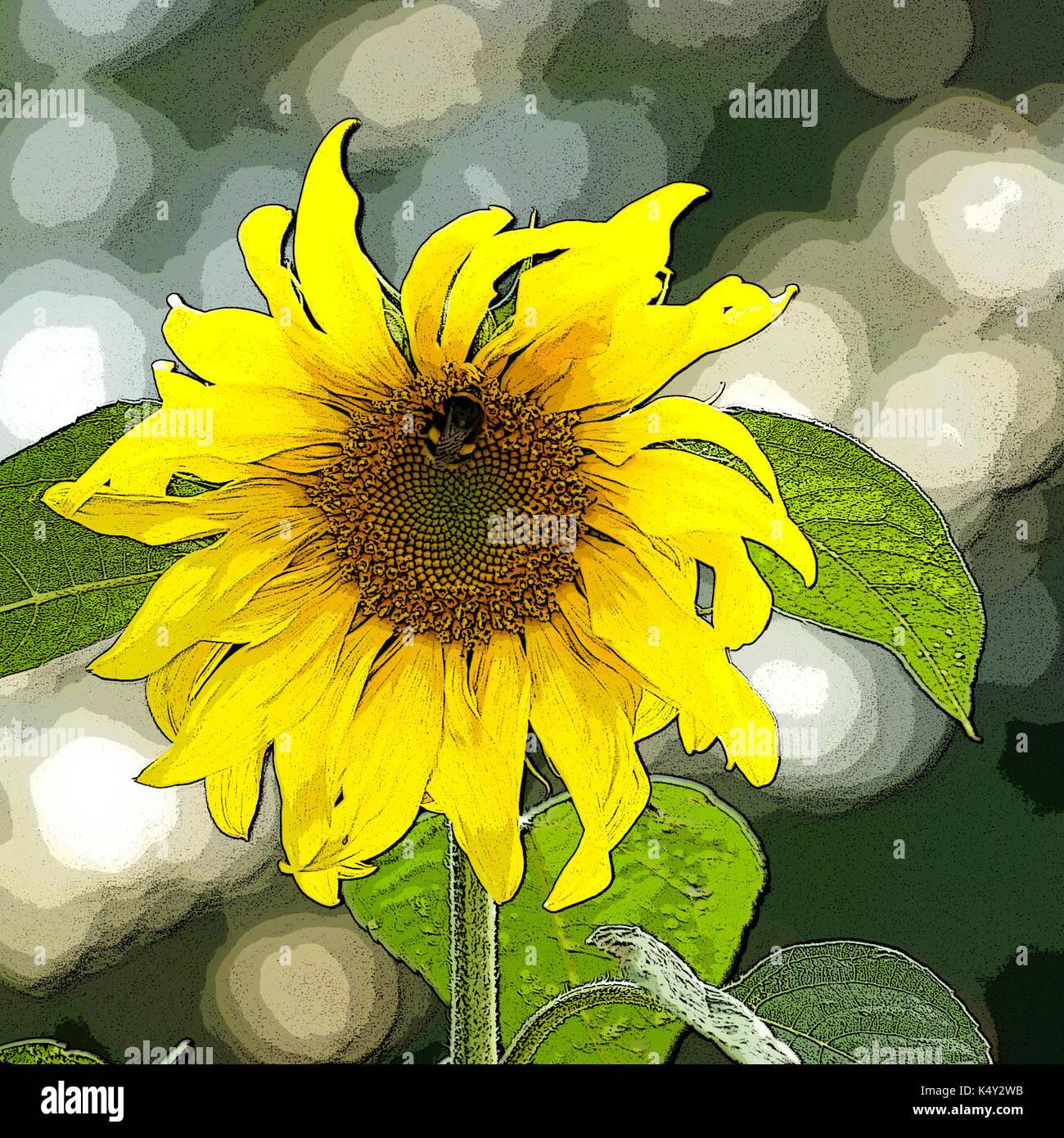 Sunflower with bee on set-aside land. Photoshop posterisation. - Stock Image
