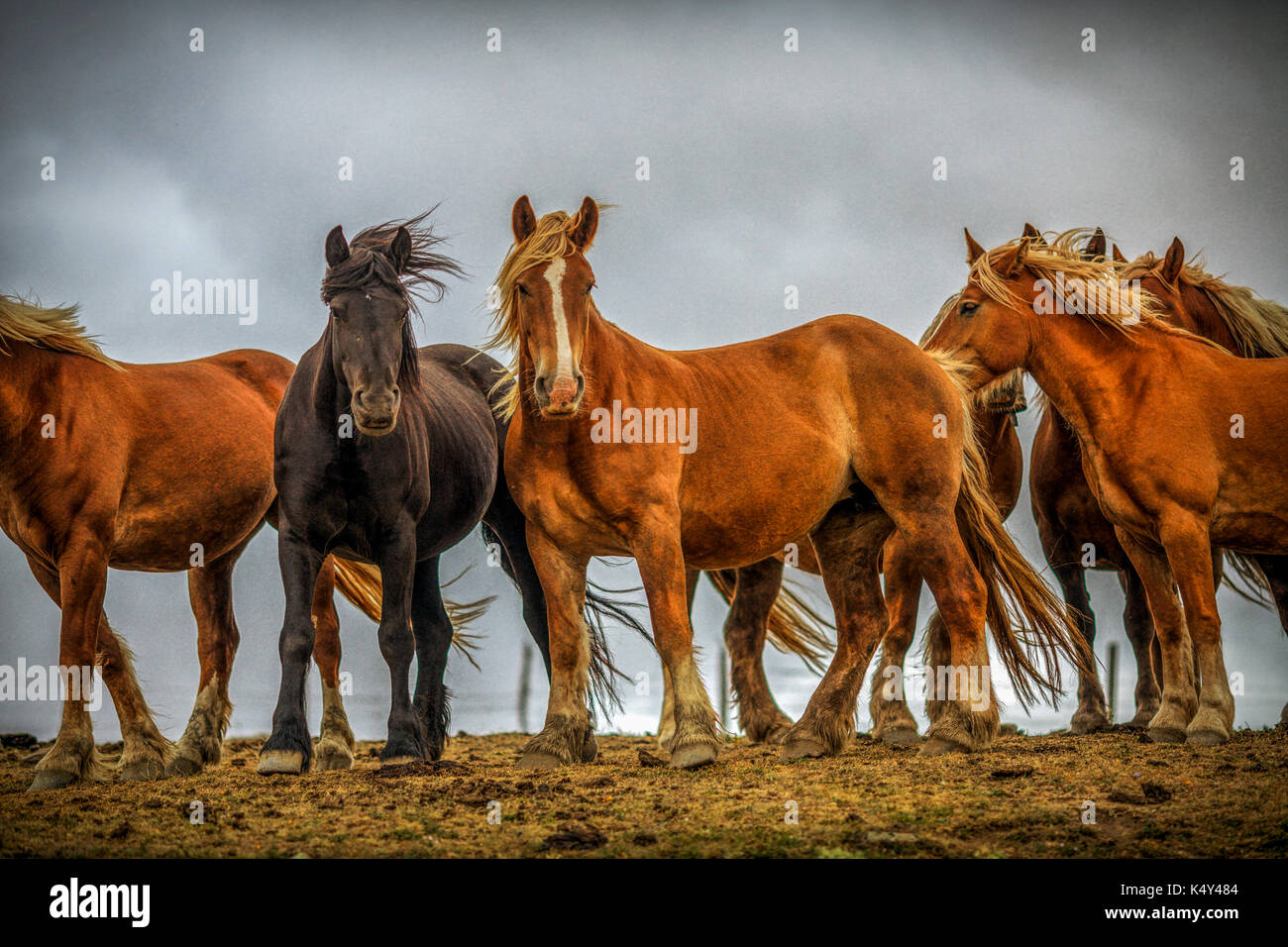 Wild horses, burguete breed, Spain - Stock Image