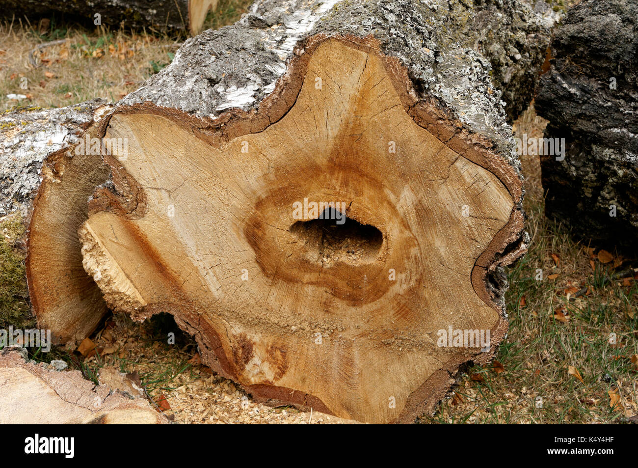 Cross-section of trunk of a European white birch Betula pendula tree showing heart- rot fungal disease, Vancouver, BC, Canada - Stock Image