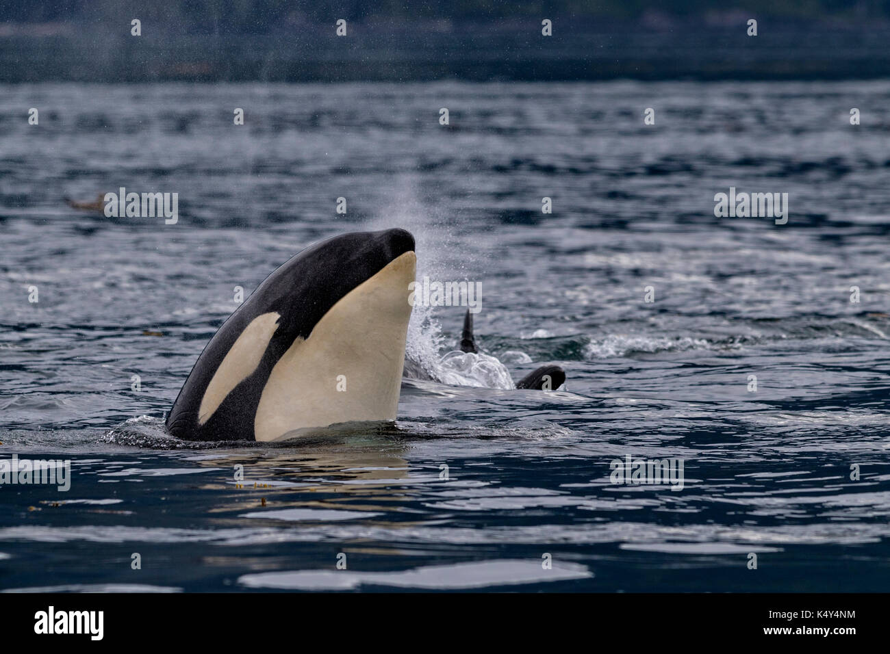 Northern resident killer whales spyhopping  in front of  Vancouver Island, British Columbi, Canada, - Stock Image