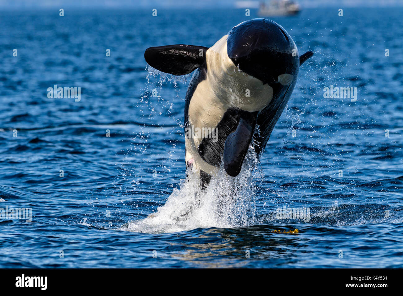 Northern resident killeer whale breaching in front of Swanson Island off Northern Vancouver Island, British Columbia, Canada. - Stock Image