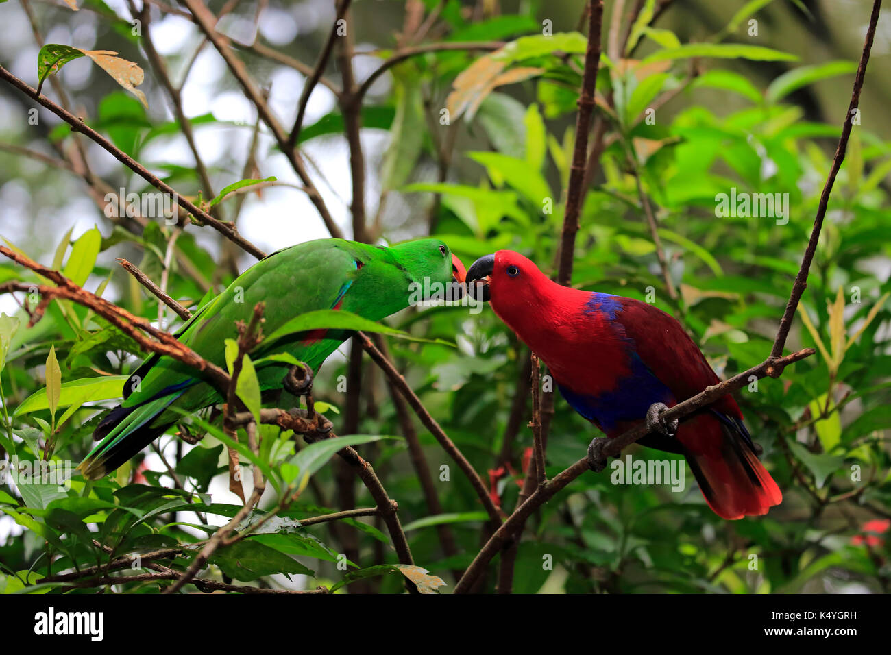 Eclectus Parrot (Eclectus roratus), adult, female, male, social behavior, couple, on the lookout, captive, native Stock Photo