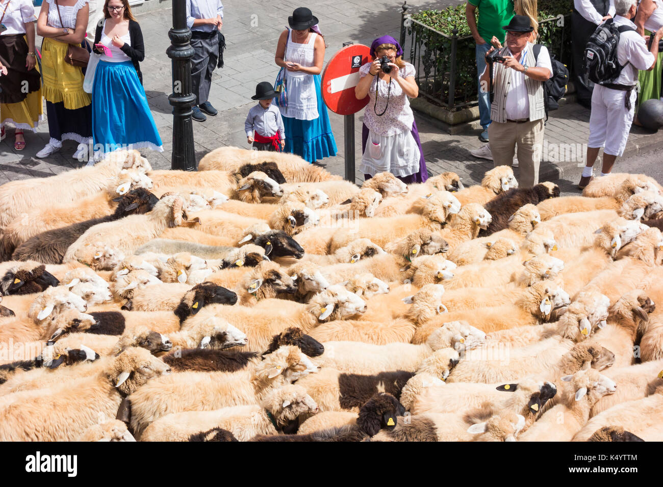 Teror, Gran Canaria, Canary Islands, Spain. 7th Sep, 2017. Every year on the 7/8th Sept, thousands of peregrinos (pilgrims) make their way to the mountain village of Teror on Gran Canaria to pay their respects to the island`s patron saint, nuestra senora del pino. PICTURED: Sheep are driven through the streets ahead of the street parade. Credit: ALAN DAWSON/Alamy Live News - Stock Image