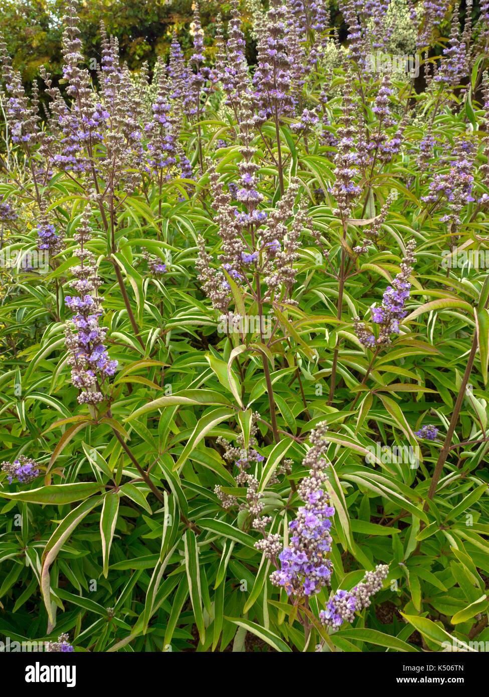 Flowers of Vitex agnus-castus Broad-leaved chaste tree Stock Photo