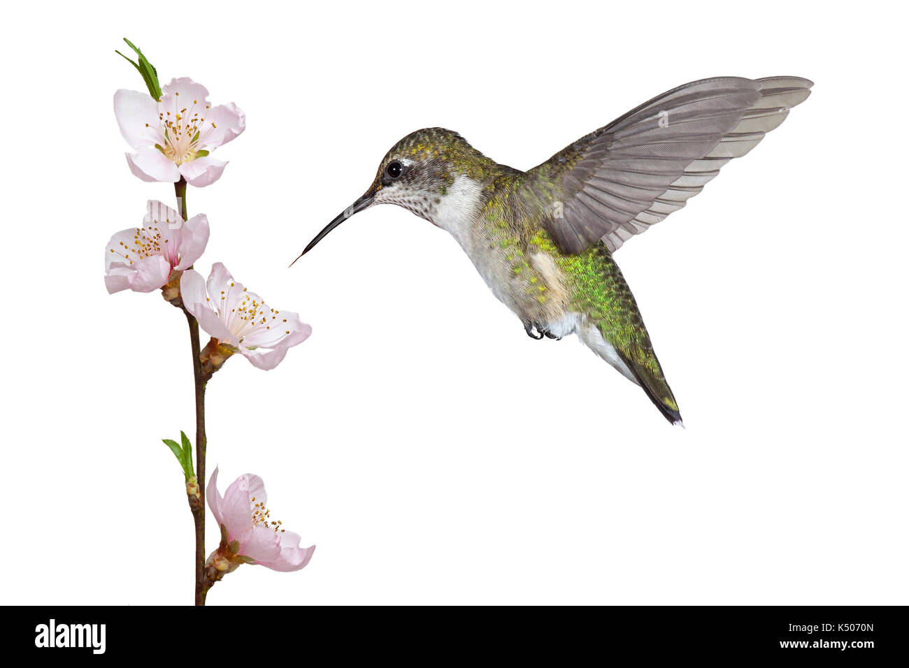 A ruby throated hummingbird hovers over a pink fruit tree blossom. Its tongue darts toward the stamen and pistil Stock Photo