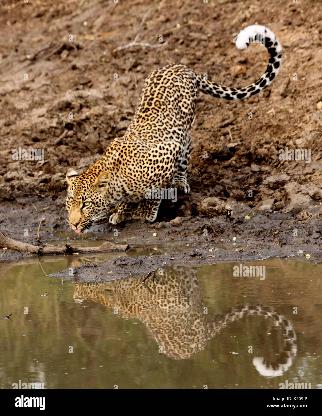 Leopard drinking from a watering hole, Londolozi, South Africa - Stock Image