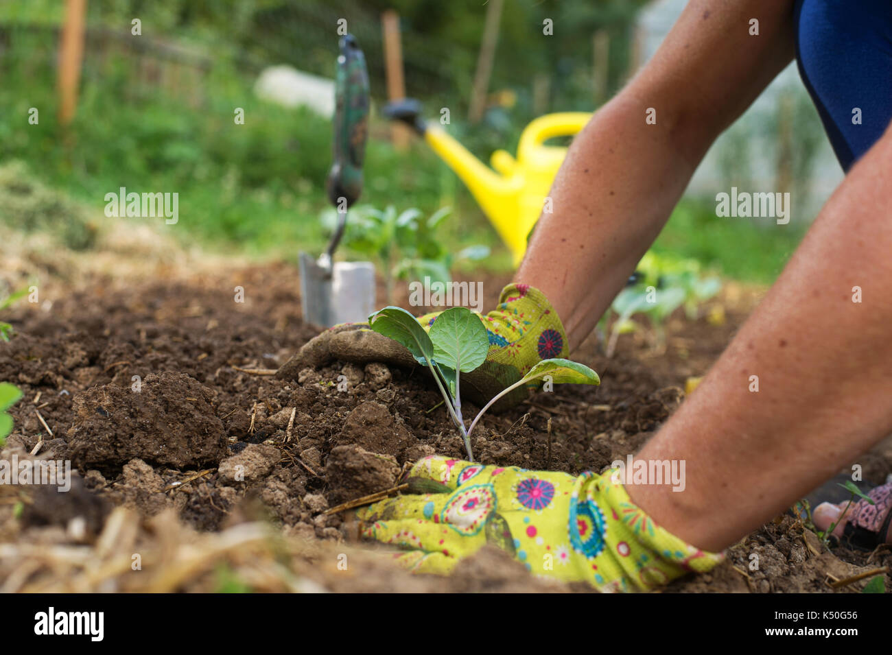 Gardener\'s hands planting cabbage seedlins in garden. Homegrown food ...