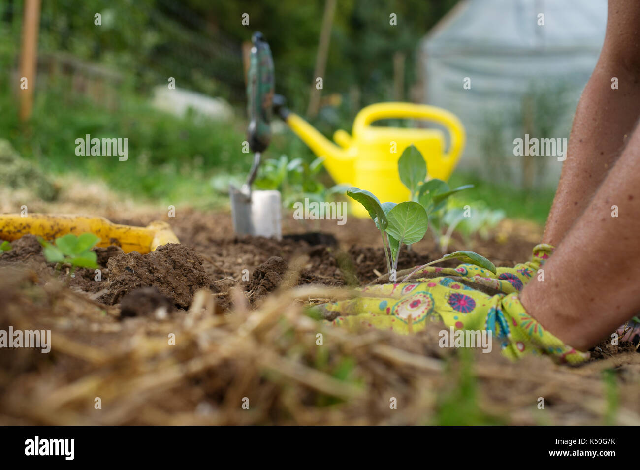 Gardener's hands planting cabbage seedlings in garden. Homegrown food, vvegetable, self-sufficient home, sustainable household concept. - Stock Image