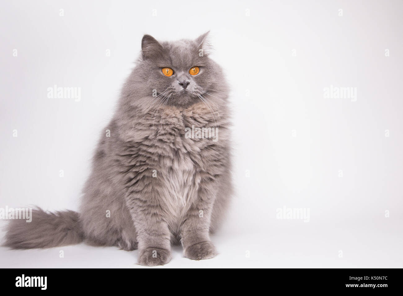 grey fluffy cat - Stock Image