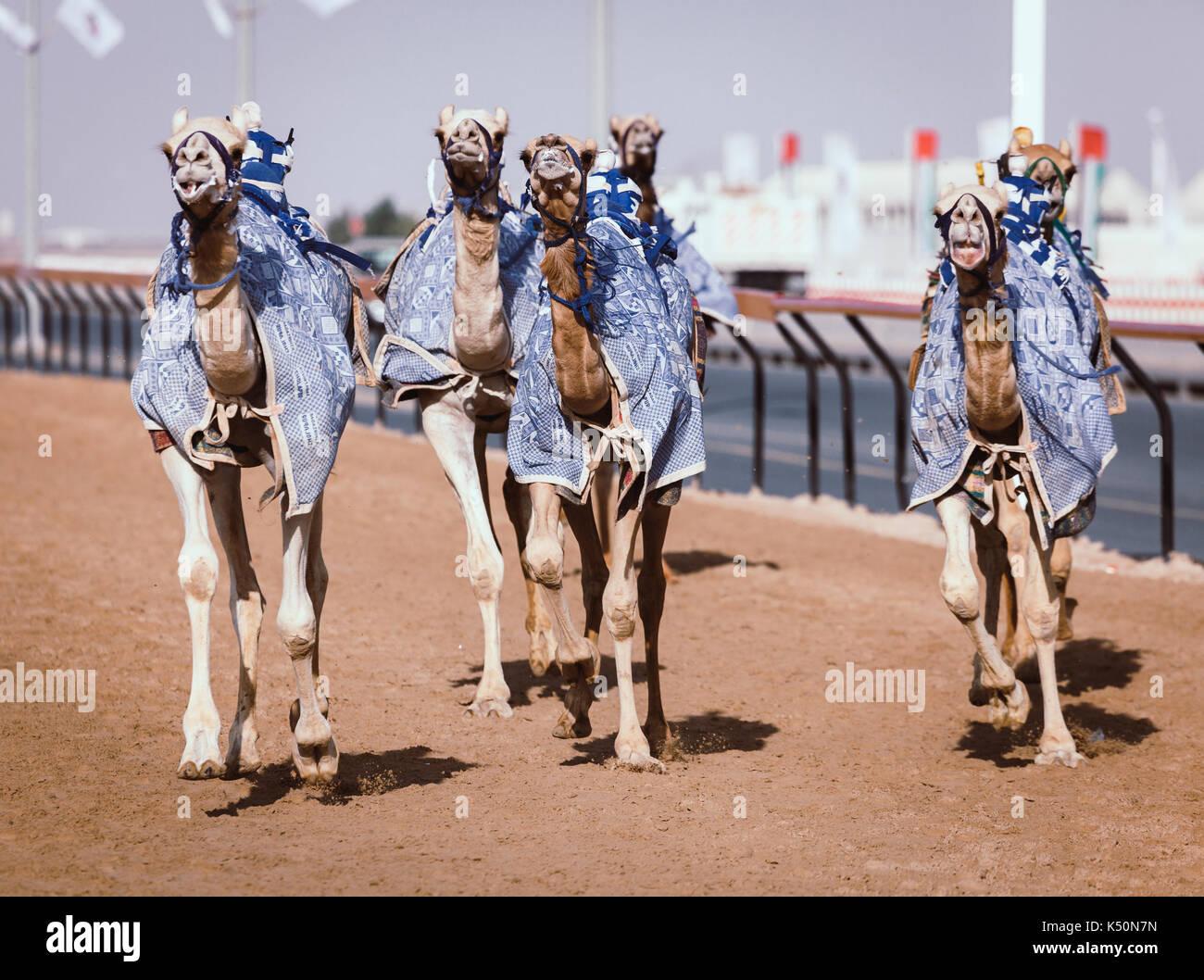 Camels with robot jokeys at racing practice near Dubai, UAE - Stock Image