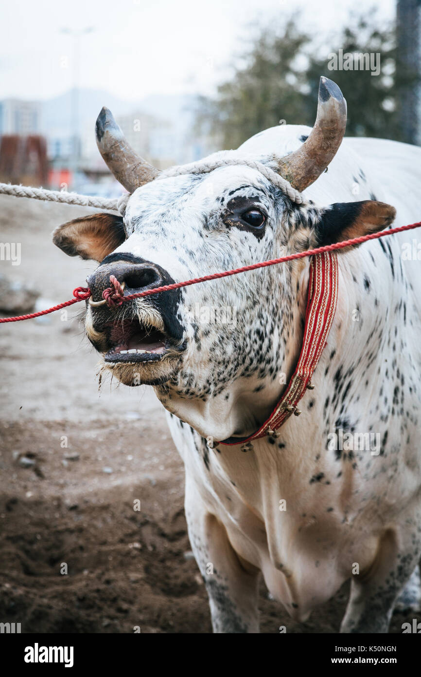 Bulls are tied as they await their turn to fight in traditional bull fighting in Fujairah, UAE - Stock Image