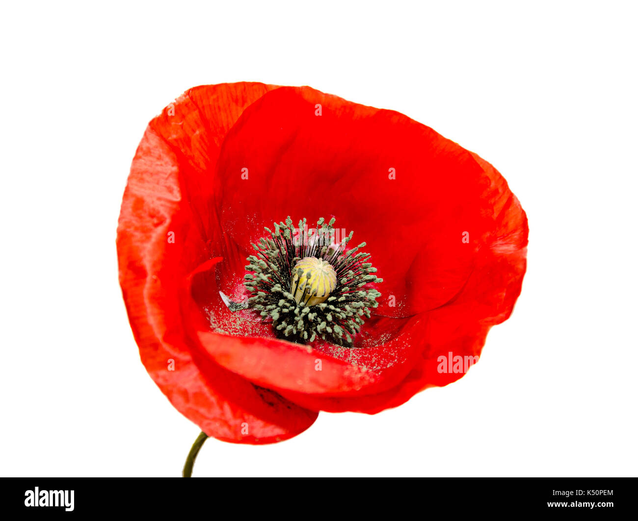 Red wild flower of Papaver rhoeas close up (corn poppy, corn rose, field poppy), isolated on white background. - Stock Image