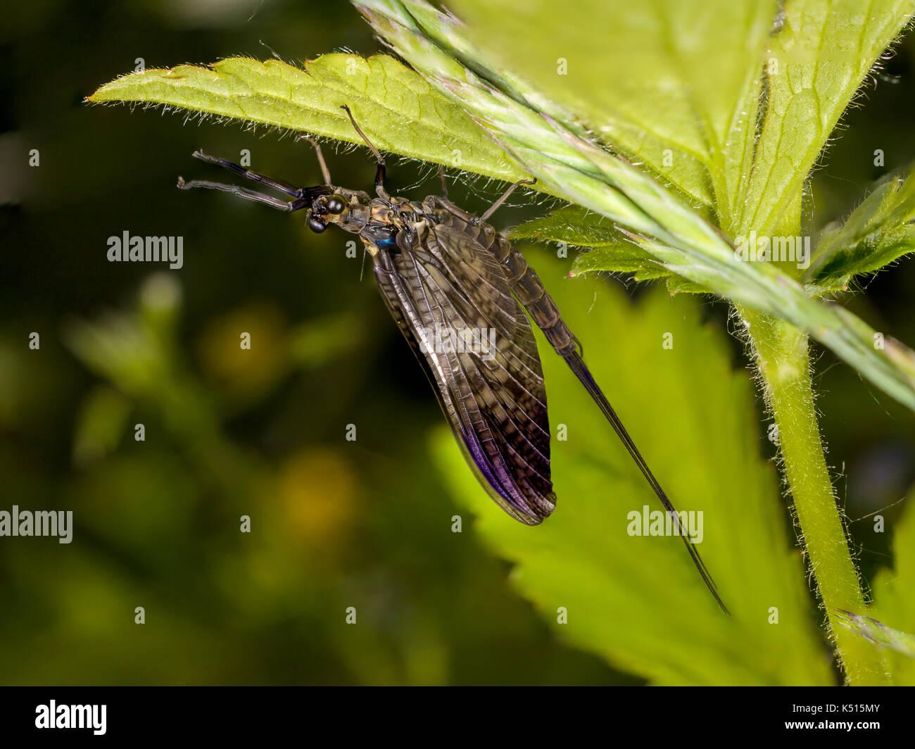 mayfly Ephemera  vulgata shadflies Ephemeroptera - Stock Image