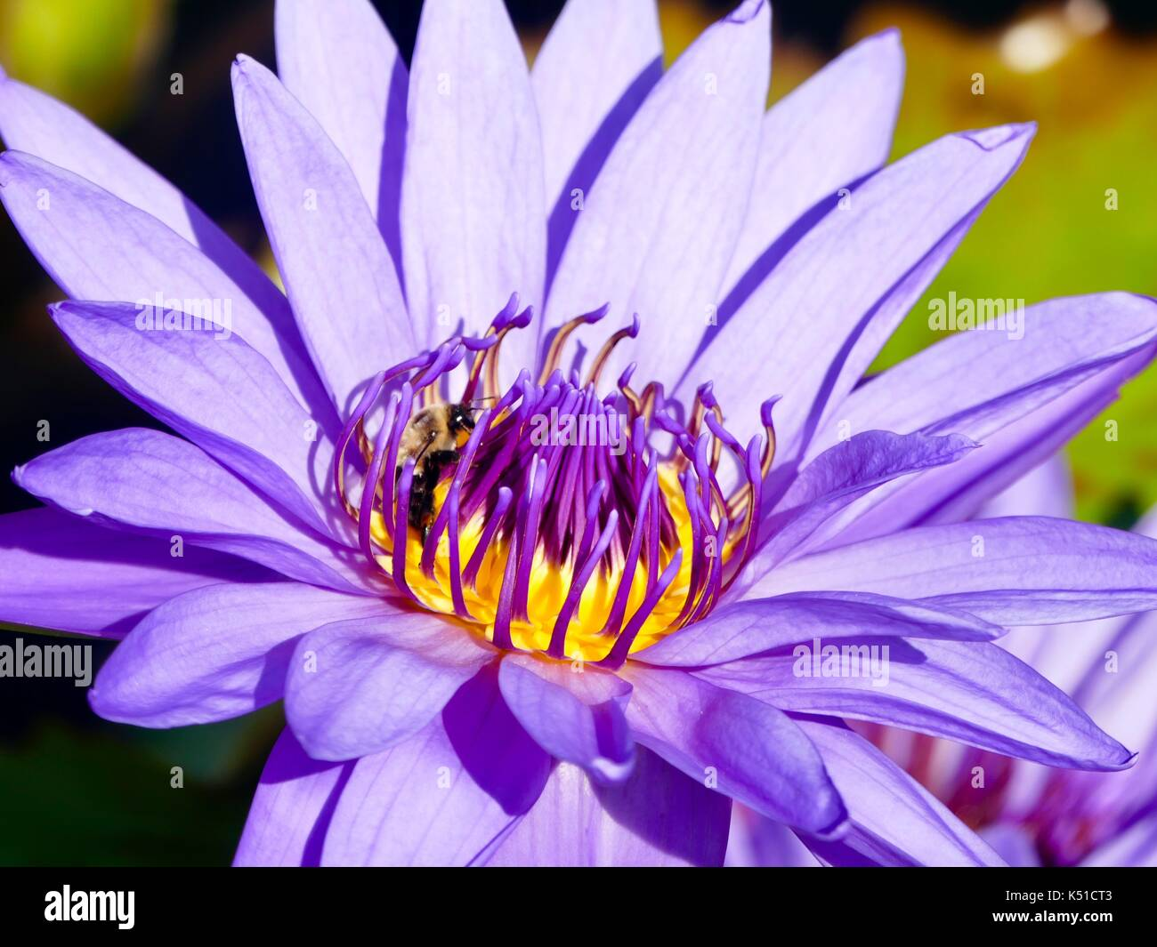 Closeup of tropical waterlily (Nymphaea). Purple with bee, pollinator, in center. New York, NY, USA. - Stock Image