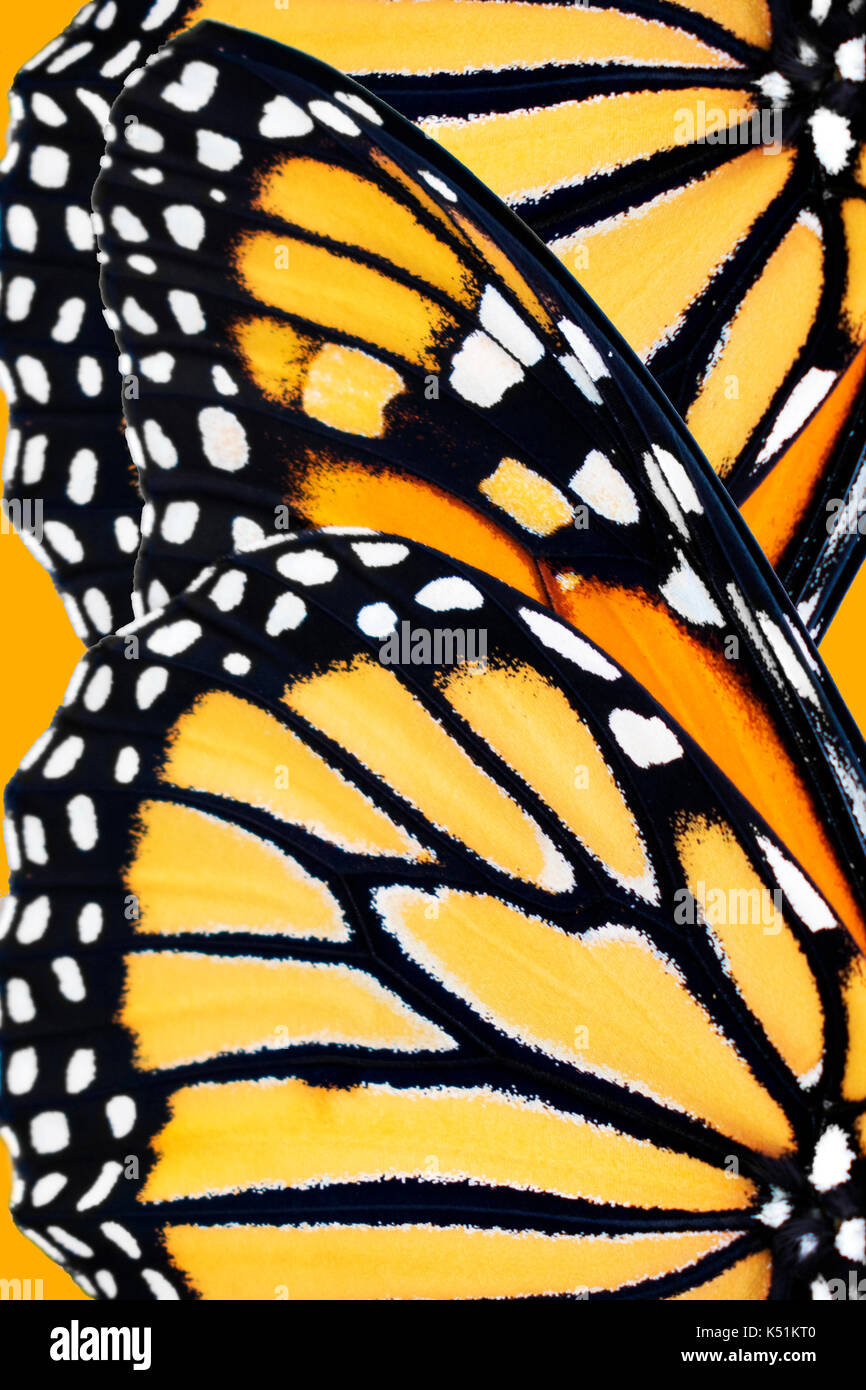 Monarch butterfly (Danaus Plexippus) wing pattern close up. - Stock Image