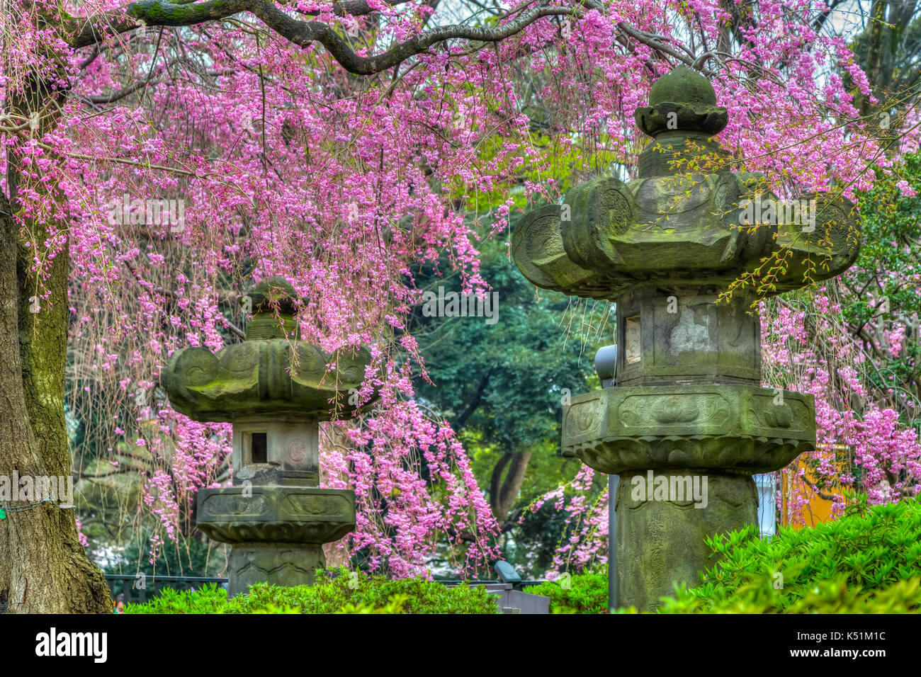 Cherry blossoms and Japanese lanterns in Ueno Onshi Park, Taito, Tokyo, Japan, Asia. - Stock Image