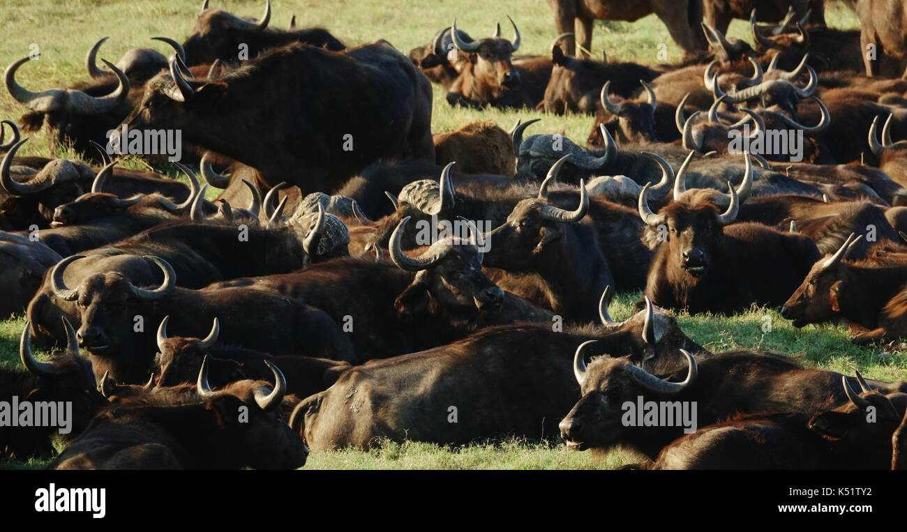 Large herd of African Water Buffalos - Stock Image