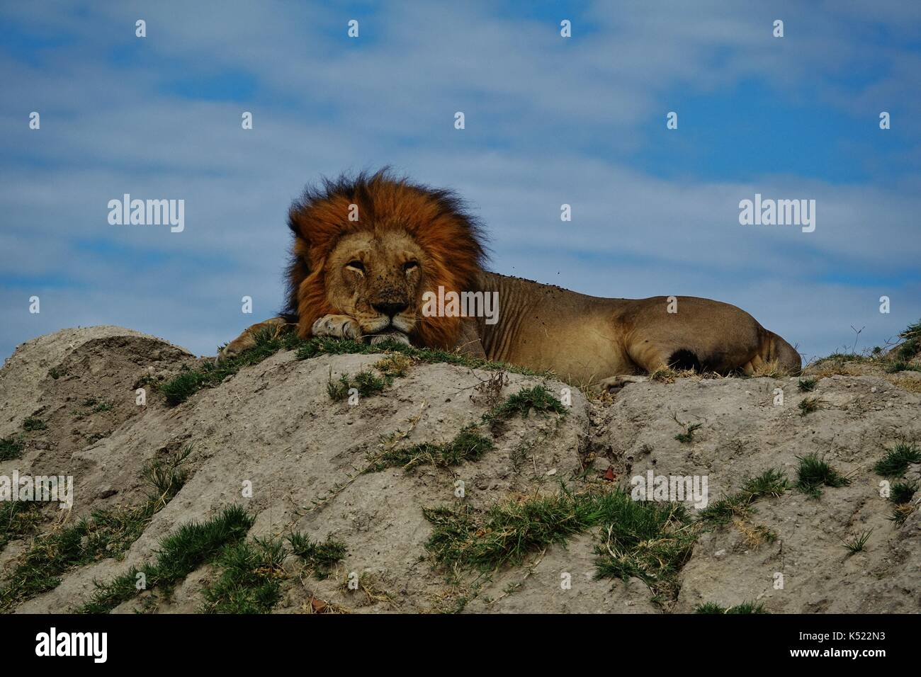 Male lion sleeping on hill - Stock Image