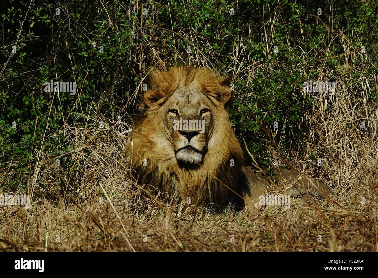 Male lion head resting - Stock Image