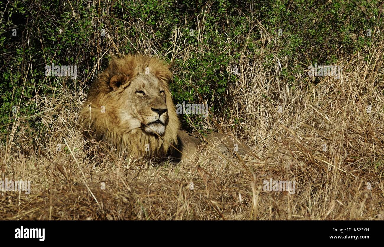 Male African lion resting in bush - Stock Image
