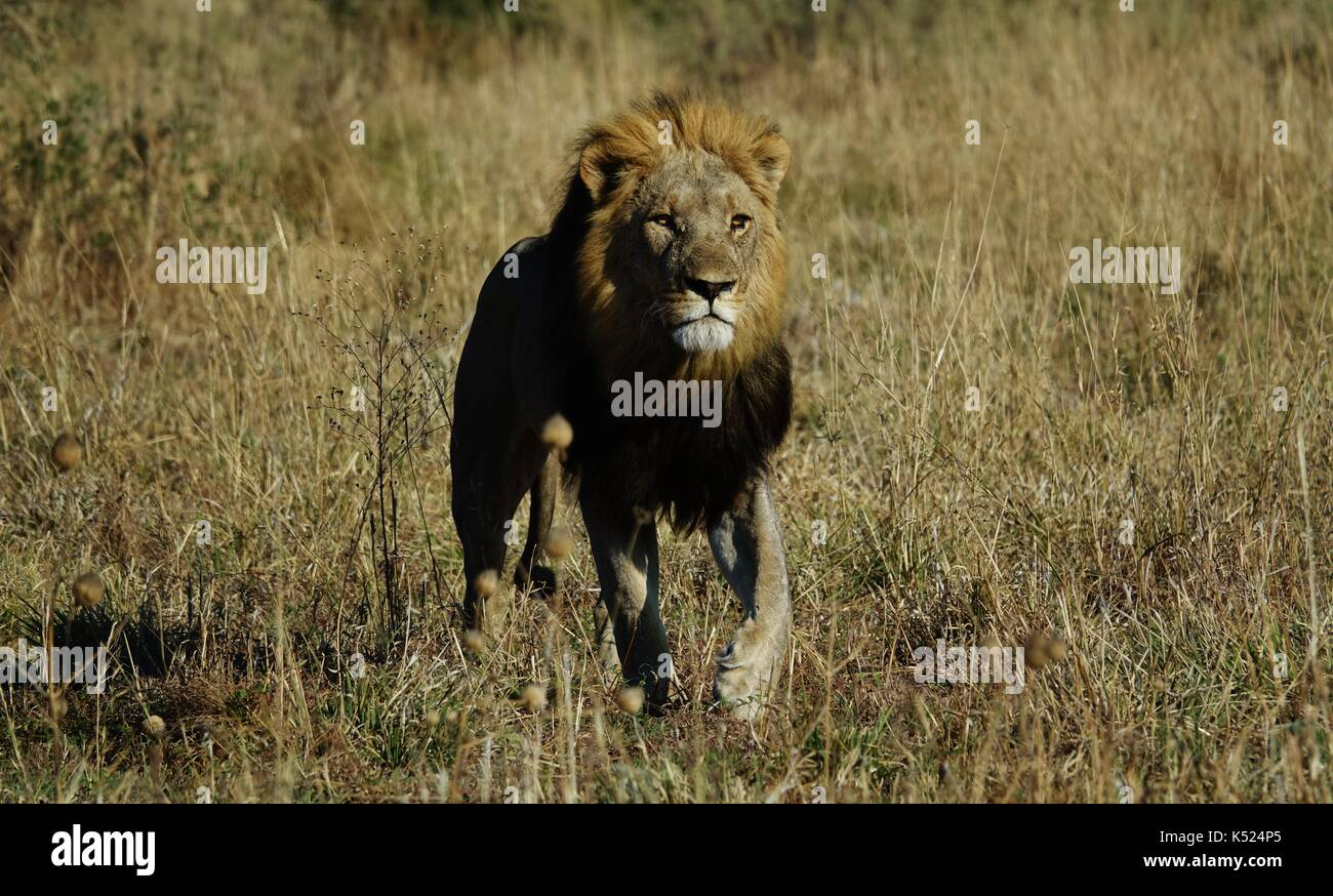 Male African lion walking - Stock Image