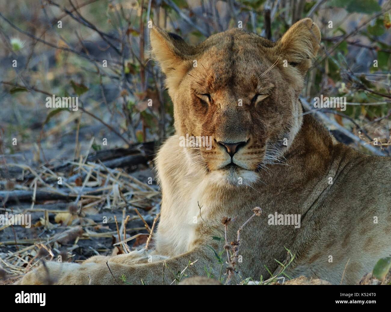 Lioness sleeping - Stock Image