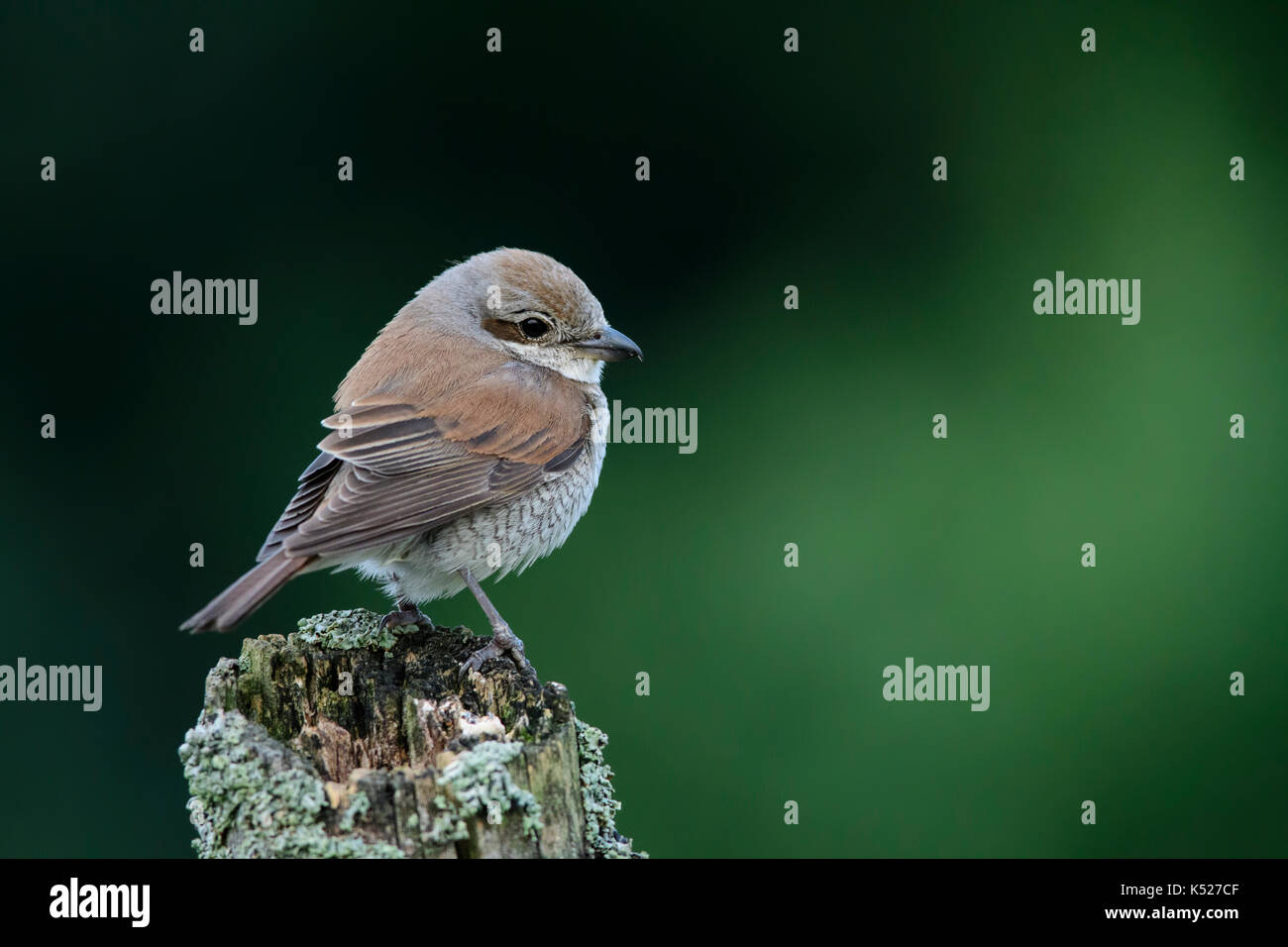 Female Red-backed Shrike (Lanius collurio) in Bialowieza National Park. July, 2017. - Stock Image