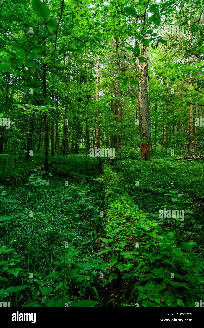 A typical view in the strictly protedted reserve of Bialowieza National Park, Poland. July, 2017. - Stock Image