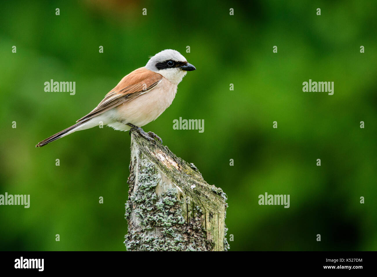 Male Red-backed Shrike (Lanius collurio) in Bialowieza National Park. July, 2017. - Stock Image
