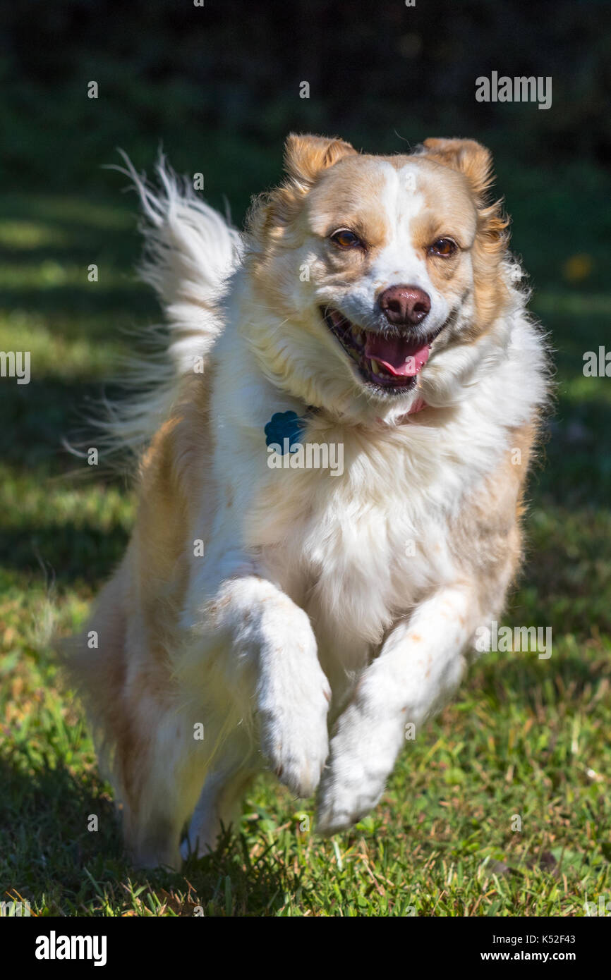 Vertical Photo Of A Blonde Border Collie Mix Dog Running And Jumping Stock Photo Alamy