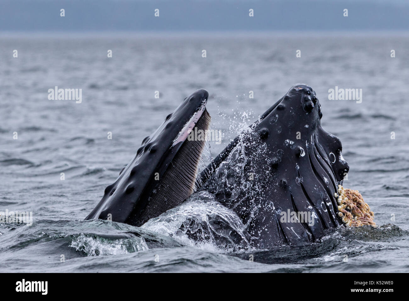 Humoback whale lunge feeding with mouth wide open in Broughton Archipelago Provincial Marine Park off Vancouver Island, British Columbia, Canada. - Stock Image