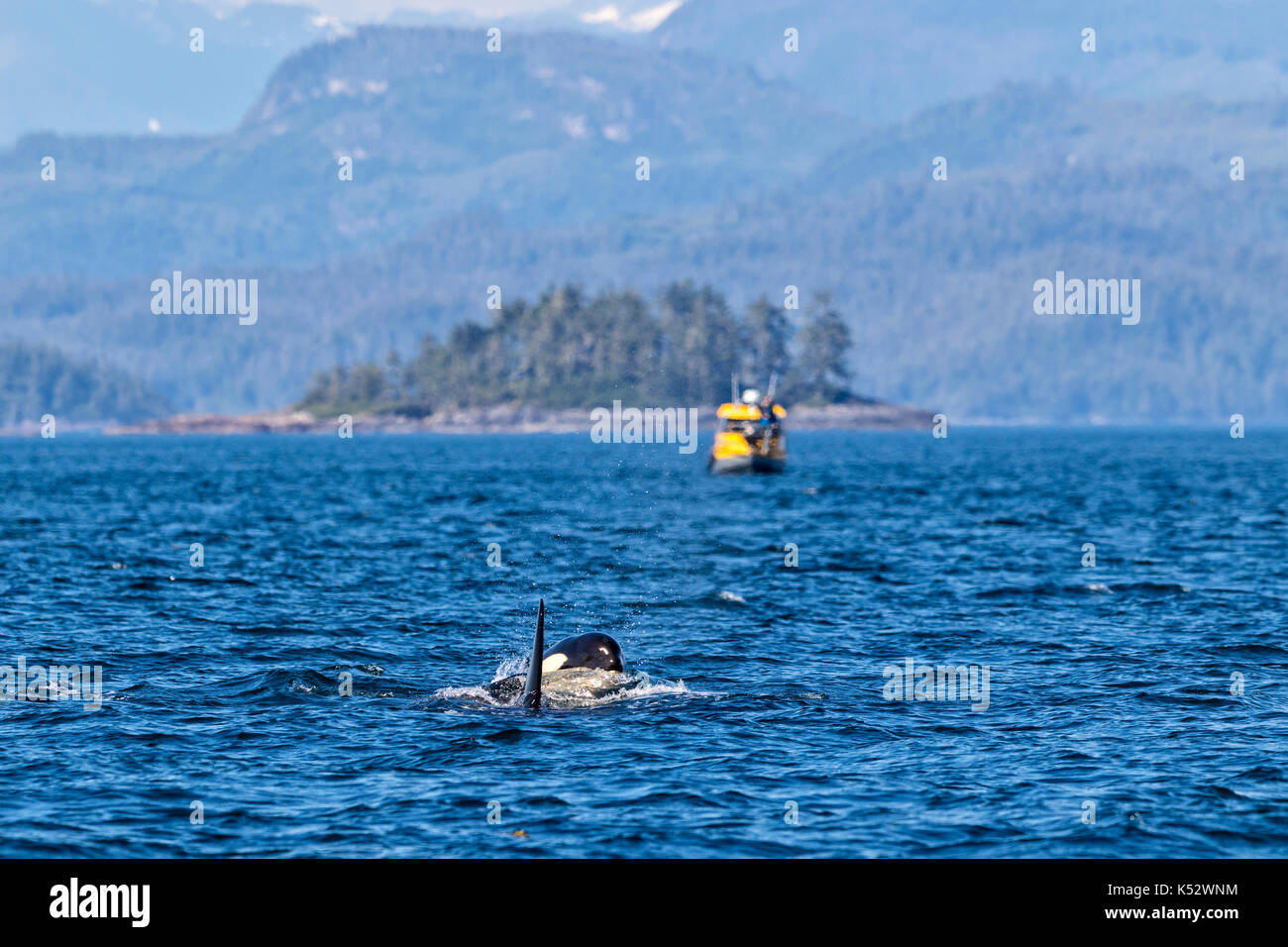 Two killer whales surfacing in front of a small ecotourism boat in Queen Charlotte Strait off Vancouver Island, British Columbia, Canada - Stock Image