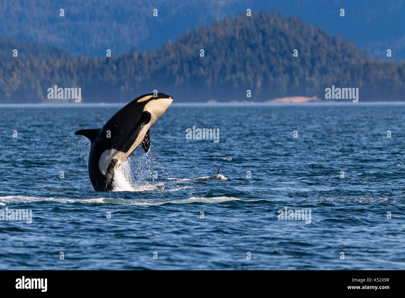 Northern resident killer whale breaching in front of Swanson Island off Northern Vancouver Island, British Columbia, Canada. - Stock Image