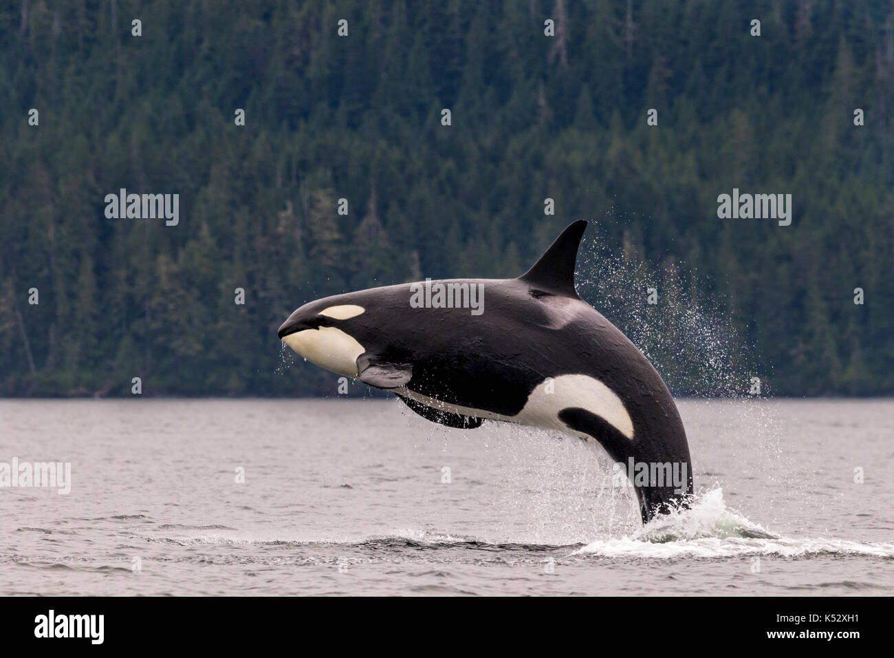 Female killer whale breaching in Johnstone Strait off Vancouver Island, British Columbia, Canada. - Stock Image