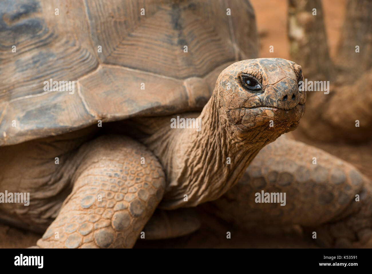Radiated tortoise, Astrochelys radiata, Croc Farm, Antananarivo, Madagascar - Stock Image