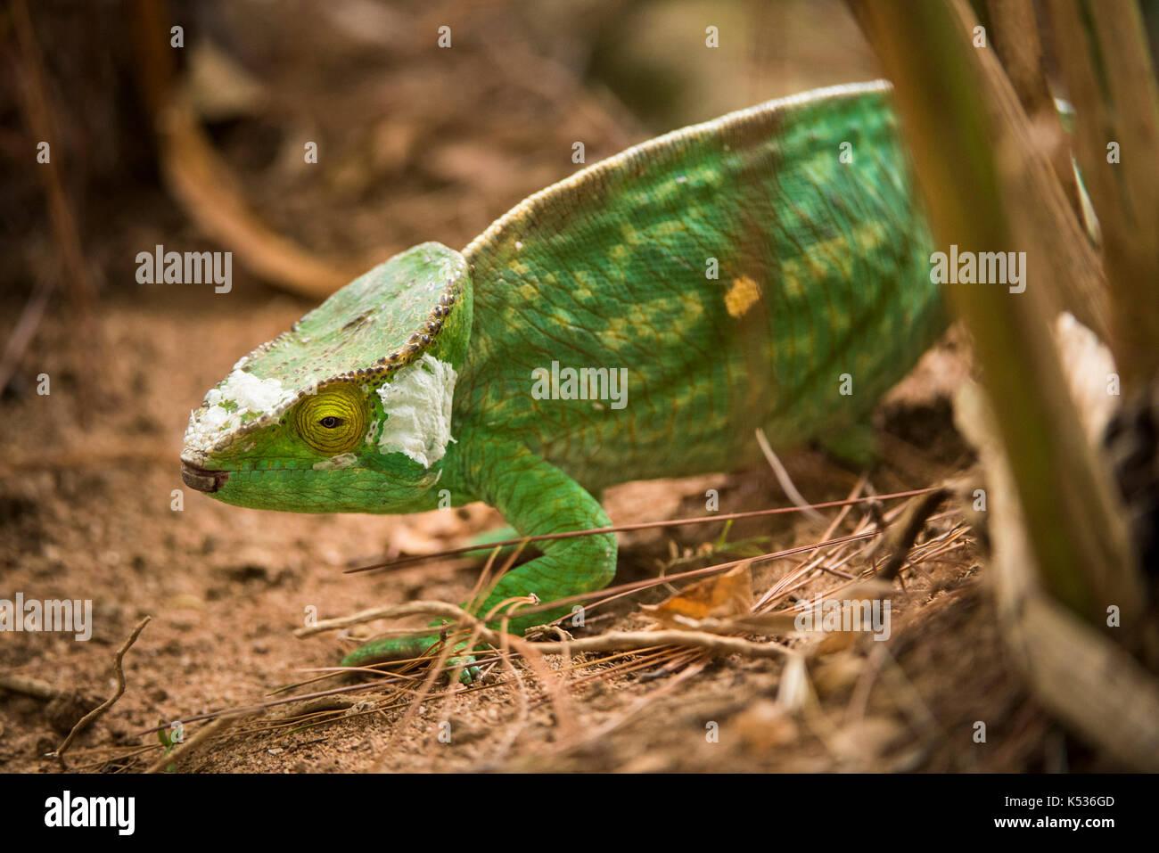 Oustalet's chameleon, Furcifer oustaleti , Croc Farm, Antananarivo, Madagascar - Stock Image