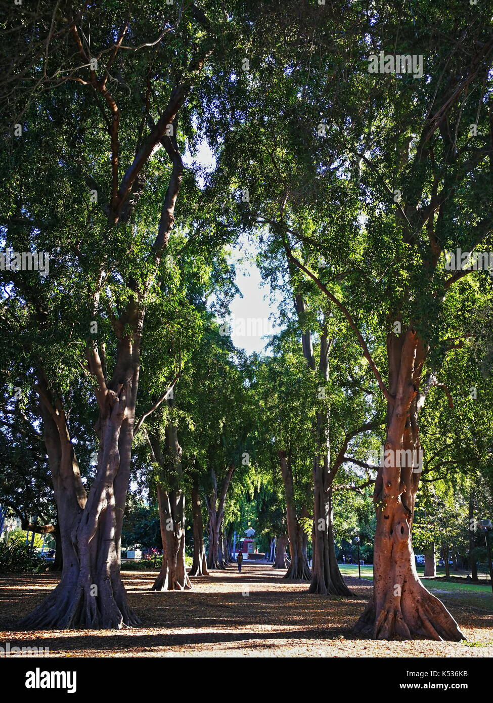 Beautiful very old and huge fig trees nicely lined up in a row in the Brisbane City Botanic Gardens, Brisbane, Queensland, Australia - Stock Image