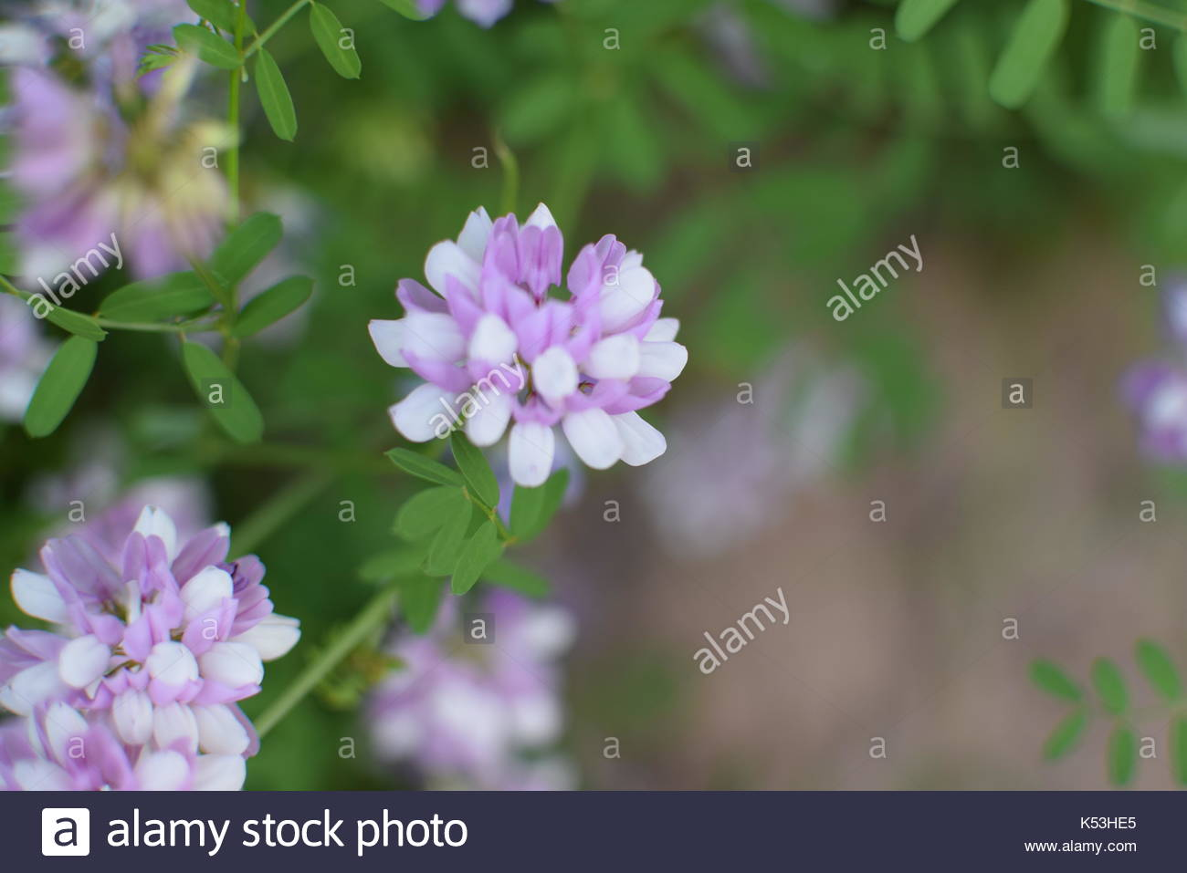 Bokeh close up of purple and white crown vetch plant flower stock bokeh close up of purple and white crown vetch plant flower izmirmasajfo