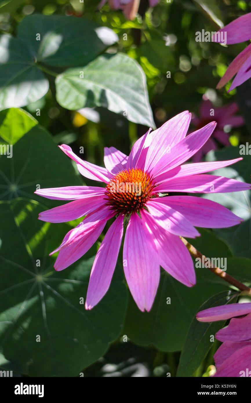 Echinacea purpurea - Stock Image