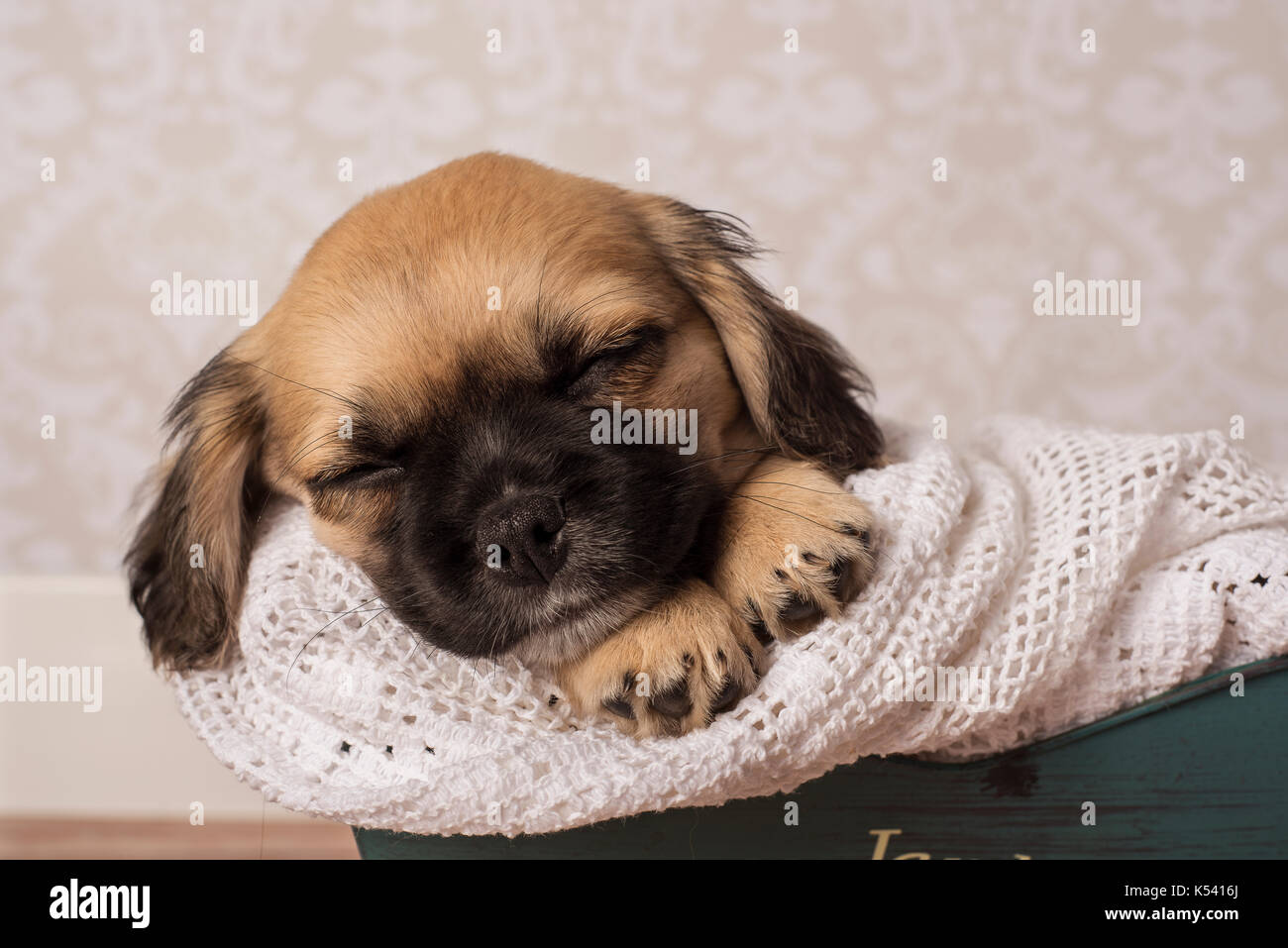 Cute tan and black puppy sleeping - Stock Image