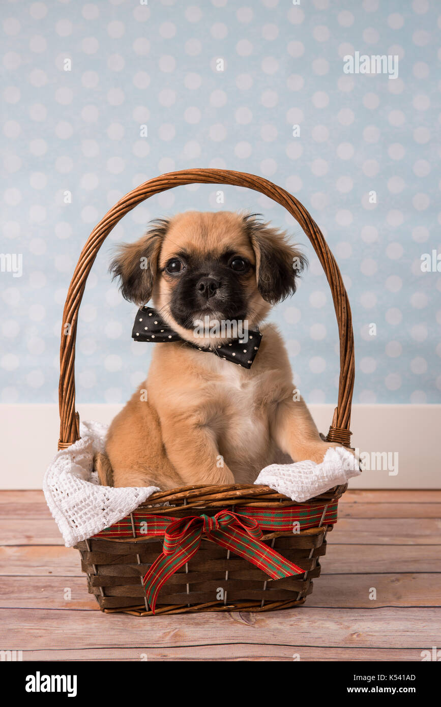 Cute tan and black puppy in a basket Stock Photo