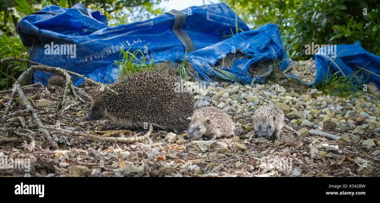 Mother and baby hedgehogs playing and exploring in wood chippings in June in Nidderdale. North Yorkshire - Stock Image