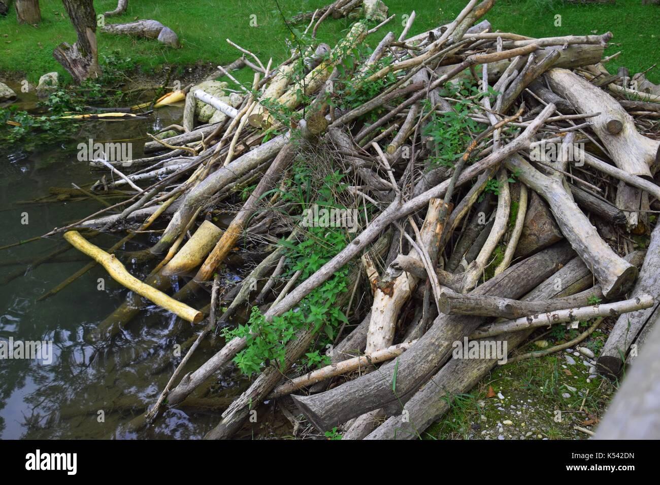 stuck river with beaver dam, Castor lodges, C. fiber Stock Photo